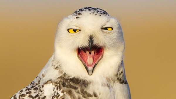 40 Snowy Owl Pictures for the House of Gandalf 29