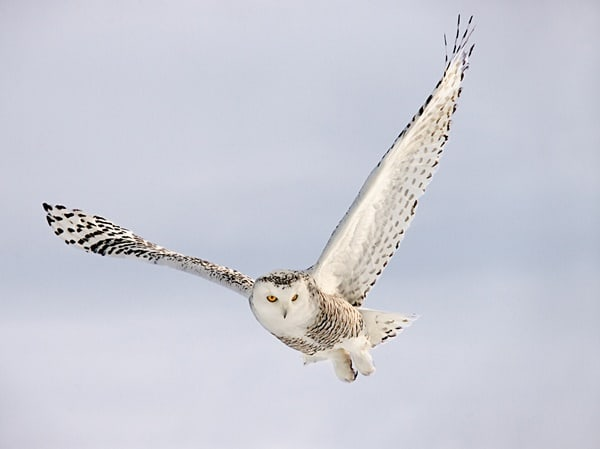 40 Snowy Owl Pictures for the House of Gandalf 33