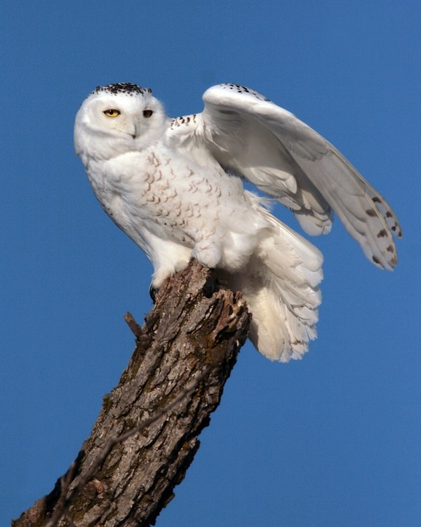 40 Snowy Owl Pictures for the House of Gandalf 36