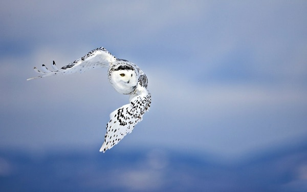 40 Snowy Owl Pictures for the House of Gandalf 39
