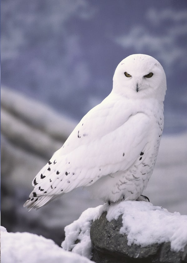 40 Snowy Owl Pictures for the House of Gandalf 5