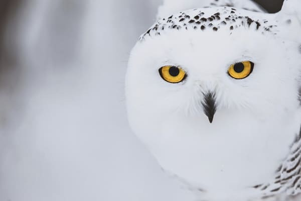 40 Snowy Owl Pictures for the House of Gandalf 6