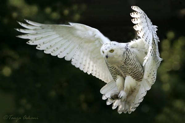 40 Snowy Owl Pictures for the House of Gandalf 8