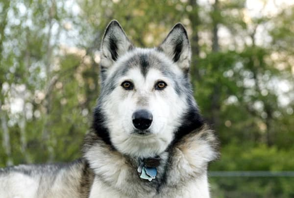 Hybrid Wolf Dog Breed Information with Pictures 20