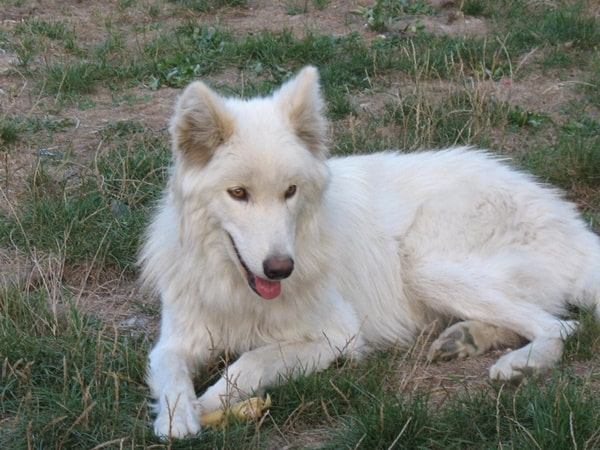 Hybrid Wolf Dog Breed Information with Pictures 9