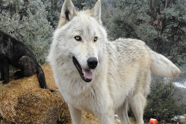 Dog Breed Wolf Hybrid