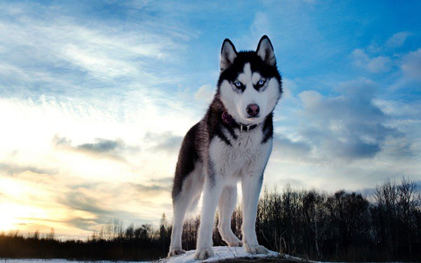 Siberian Husky, Everything you need to know about them 1