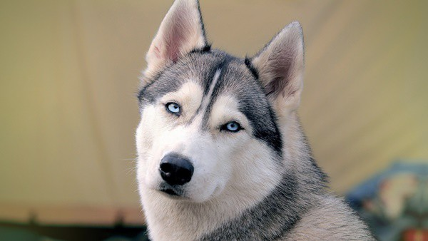 Siberian Husky, Everything you need to know about them 4