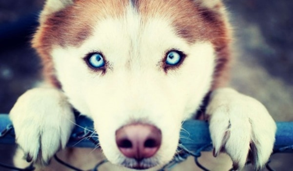 Siberian Husky, Everything you need to know about them 6