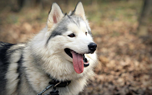 Siberian Husky, Everything you need to know about them 7