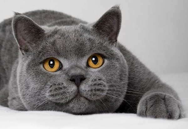 10 Most Beautiful Cat Breeds in the World 2