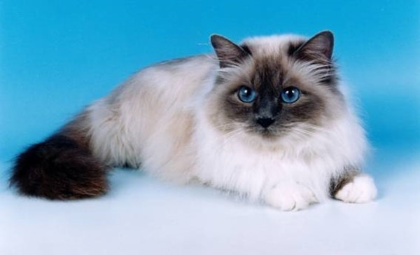 10 Most Beautiful Cat Breeds in the World 3