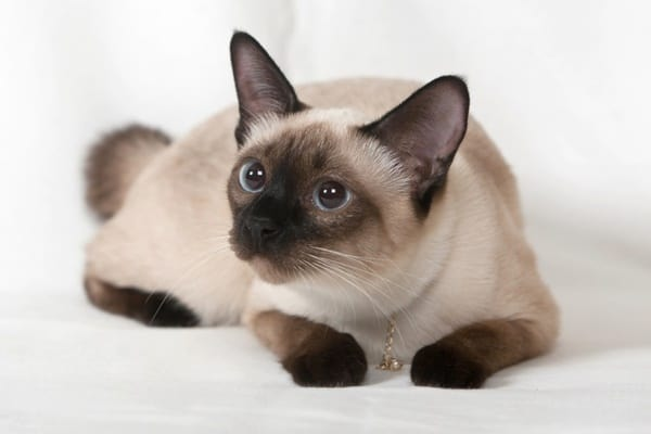 10 Most Beautiful Cat Breeds in the World 6