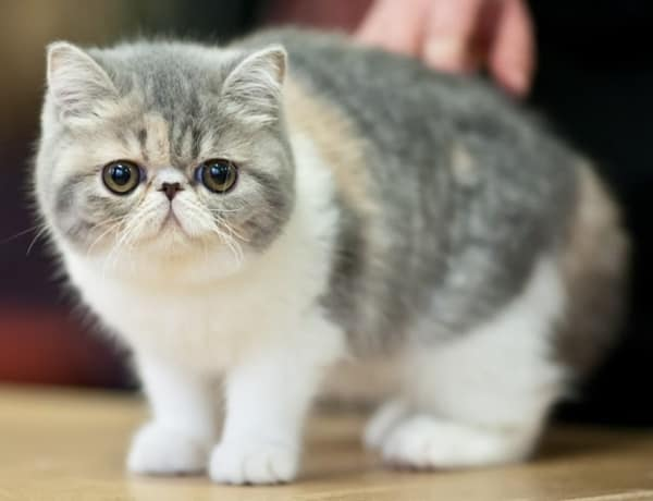 10 Most Beautiful Cat Breeds in the World 7