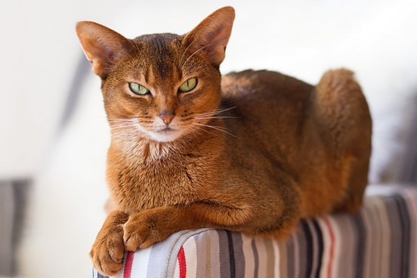10 Most Beautiful Cat Breeds in the World 8
