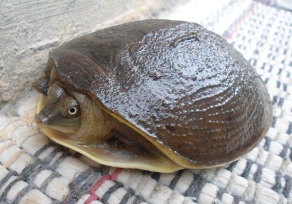 10 Weird and Wonderful Turtle and Tortoise Species 8