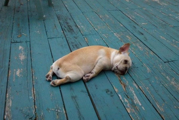 40 Adorable and Cute Pictures of Dog Planking 5