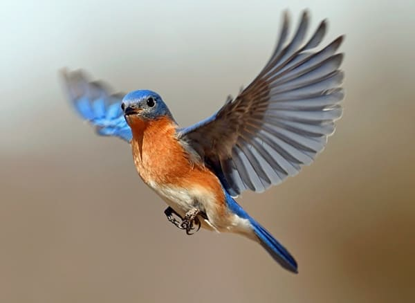 40 Beautiful Pictures of Bluebirds 12