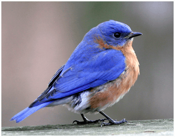 40 Beautiful Pictures of Bluebirds 13