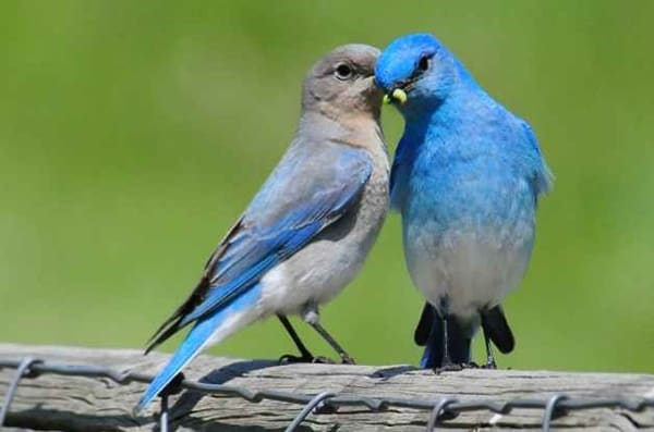 40 Beautiful Pictures of Bluebirds 14