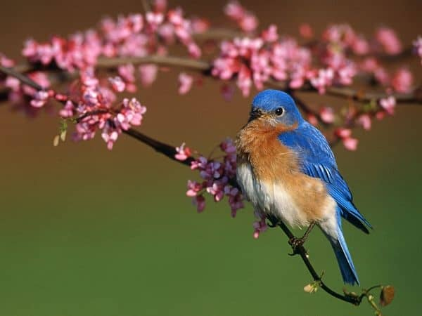 40 Beautiful Pictures of Bluebirds 15