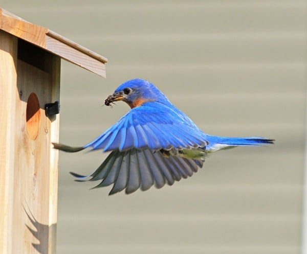 40 Beautiful Pictures of Bluebirds 17