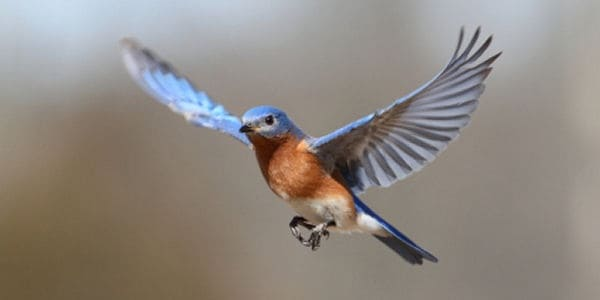 40 Beautiful Pictures of Bluebirds 2