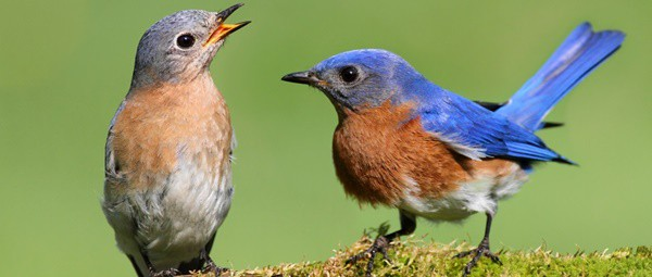 40 Beautiful Pictures of Bluebirds 20