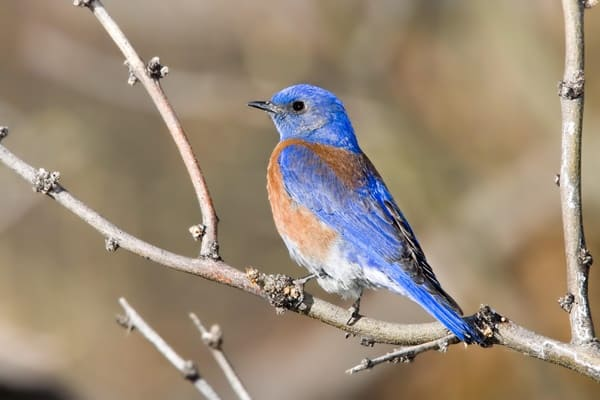 40 Beautiful Pictures of Bluebirds 22