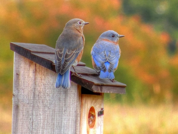 40 Beautiful Pictures of Bluebirds 24