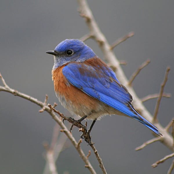 40 Beautiful Pictures of Bluebirds 25