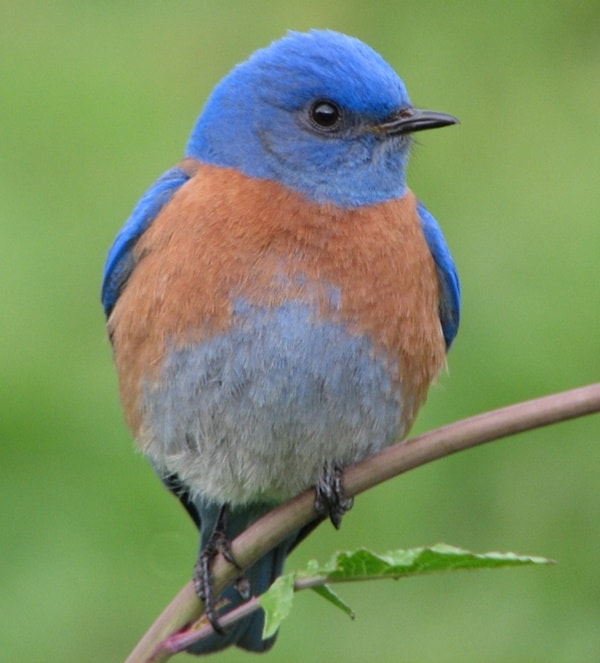 40 Beautiful Pictures of Bluebirds 29