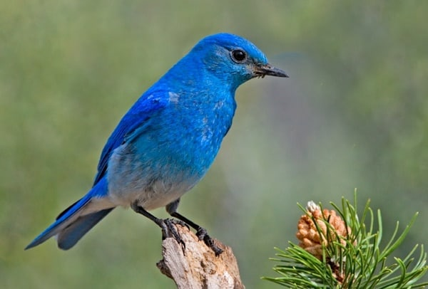 https://tailandfur.com/wp-content/uploads/2016/08/40-Beautiful-Pictures-of-Bluebirds-3.jpg