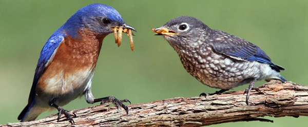 40 Beautiful Pictures of Bluebirds 30