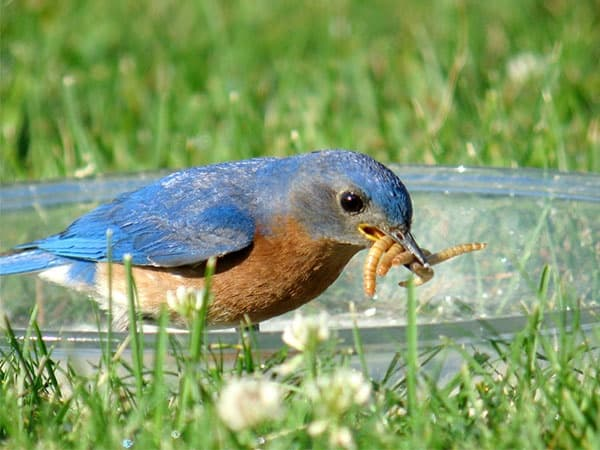 40 Beautiful Pictures of Bluebirds 32