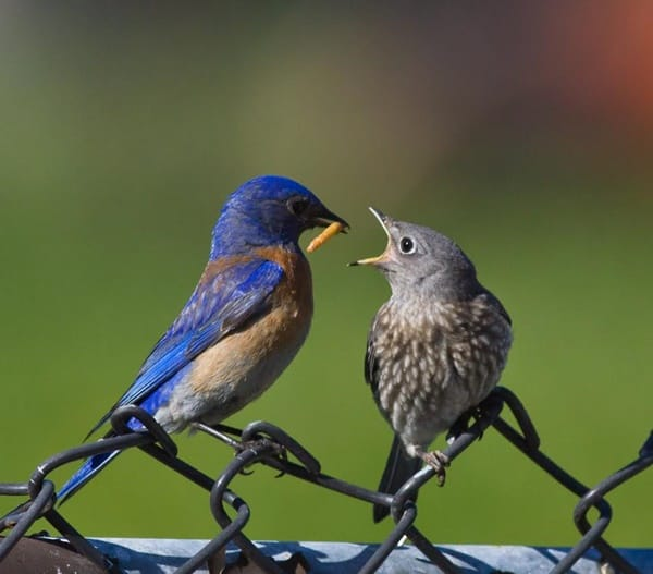40 Beautiful Pictures of Bluebirds 33