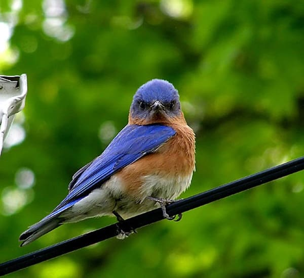 40 Beautiful Pictures of Bluebirds 34