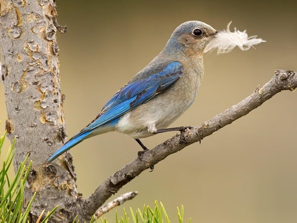 40 Beautiful Pictures of Bluebirds 37