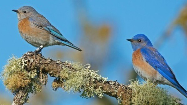 40 Beautiful Pictures of Bluebirds 38