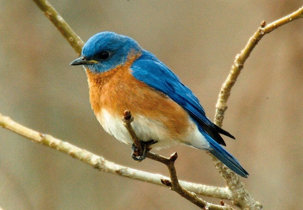 40 Beautiful Pictures of Bluebirds 5