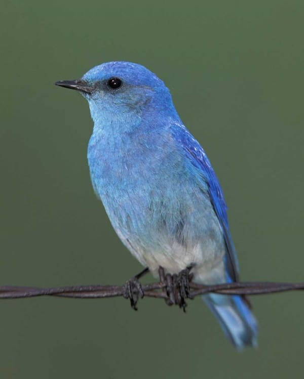 40 Beautiful Pictures of Bluebirds 6