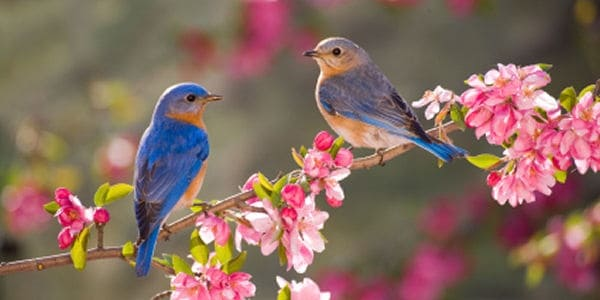 40 Beautiful Pictures of Bluebirds 7