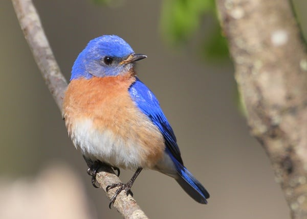 40 Beautiful Pictures of Bluebirds 8