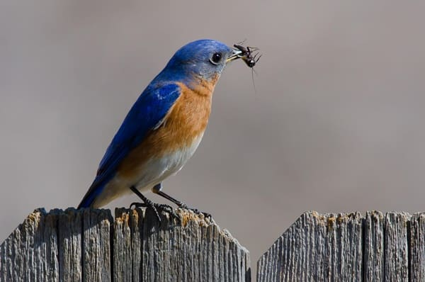 40 Beautiful Pictures of Bluebirds 9