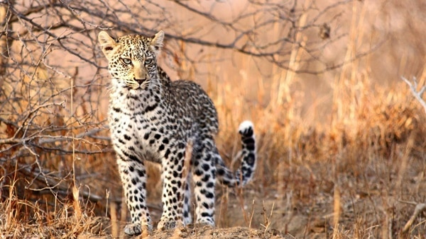 40 Pictures of Leopard in their Wild Nature 1