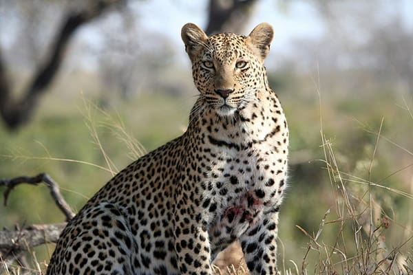 40 Pictures of Leopard in their Wild Nature 10