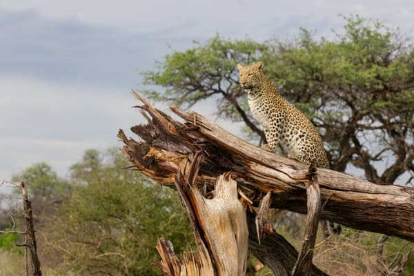 40 Pictures of Leopard in their Wild Nature 13