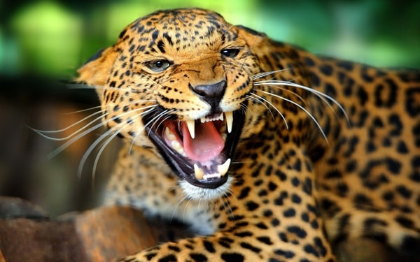 40 Pictures of Leopard in their Wild Nature 16