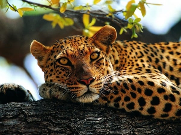40 Pictures of Leopard in their Wild Nature 17