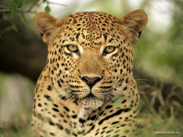 40 Pictures of Leopard in their Wild Nature 21